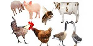 Chứng nhận VietGAP chăn nuôi